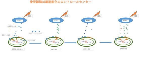 骨芽細胞は細胞変化のコントロールセンター