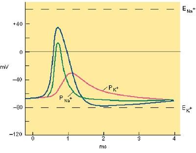 NaイオンKイオンと電気パルスの関係