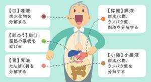 図 消化器官と消化液の役割  消化液の機能 topics_main3aよりコピー